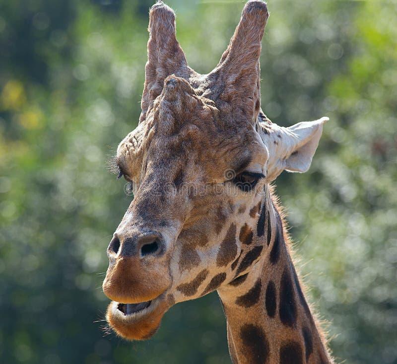 在Longleat野生生物公园的长颈鹿 免版税库存图片