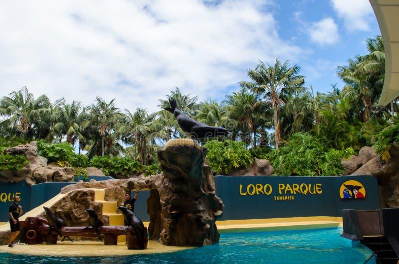 在Loro parque的海狮展示从特内里费岛 免版税图库摄影