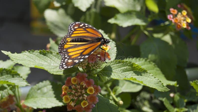 在Mackinac海岛的黑脉金斑蝶 免版税图库摄影