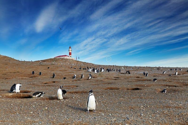 在Magdalena海岛,智利的Magellanic企鹅 免版税库存照片