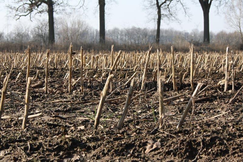 在mais以后的空的草甸在秋天被收获了 免版税库存照片