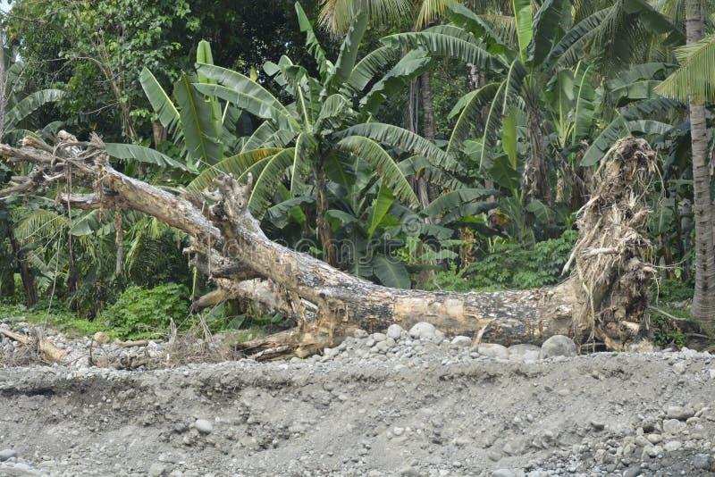 在Mal河岸, Matanao,南达沃省,菲律宾的被连根拔的树 库存照片