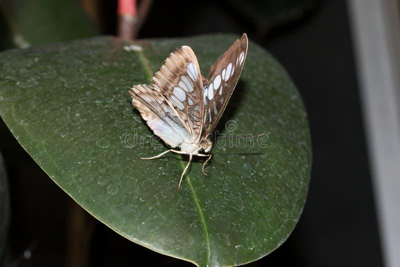 在malachit的正面图蹒跚而行坐有半开放翼的一片绿色叶子在emsbà ¼的一间温室ren emsland德国 库存照片