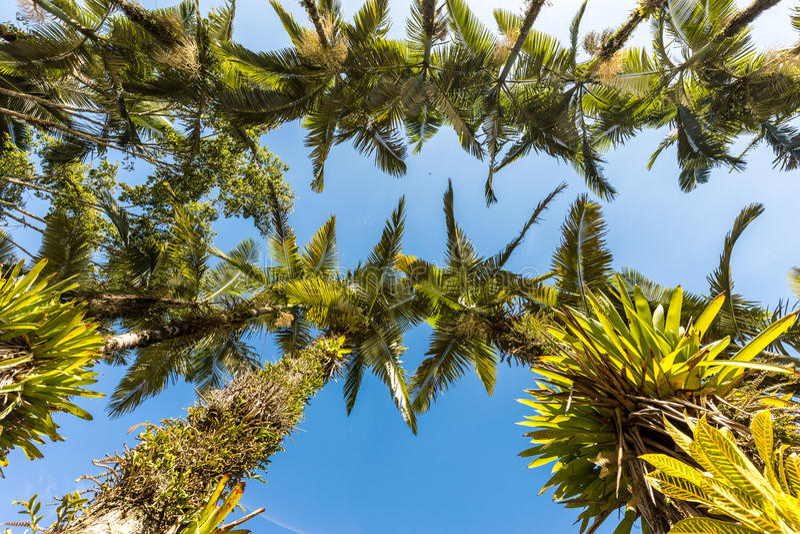 在Malwee公园的皇家棕榈 Jaragua做南水道,圣卡塔琳娜州 免版税图库摄影