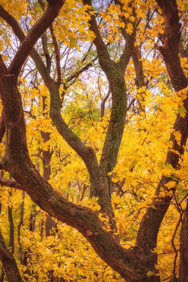 在mapple树的黄色叶子 免版税库存照片