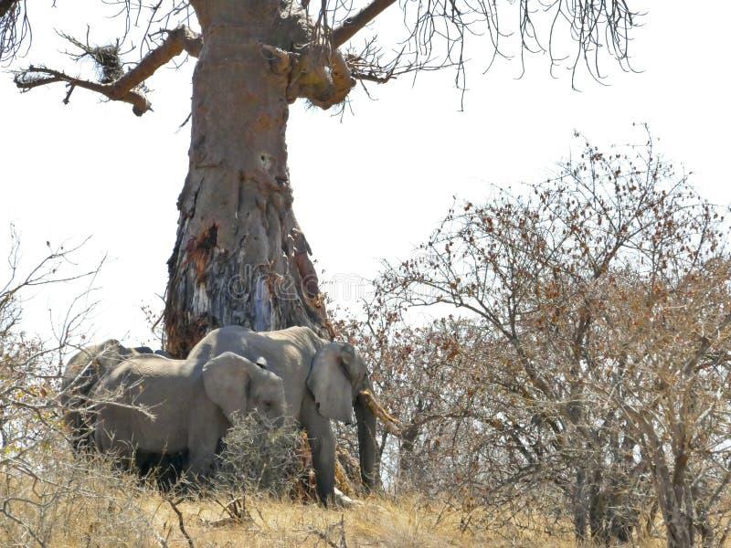 在Mapungubwe的非洲大象 免版税库存图片