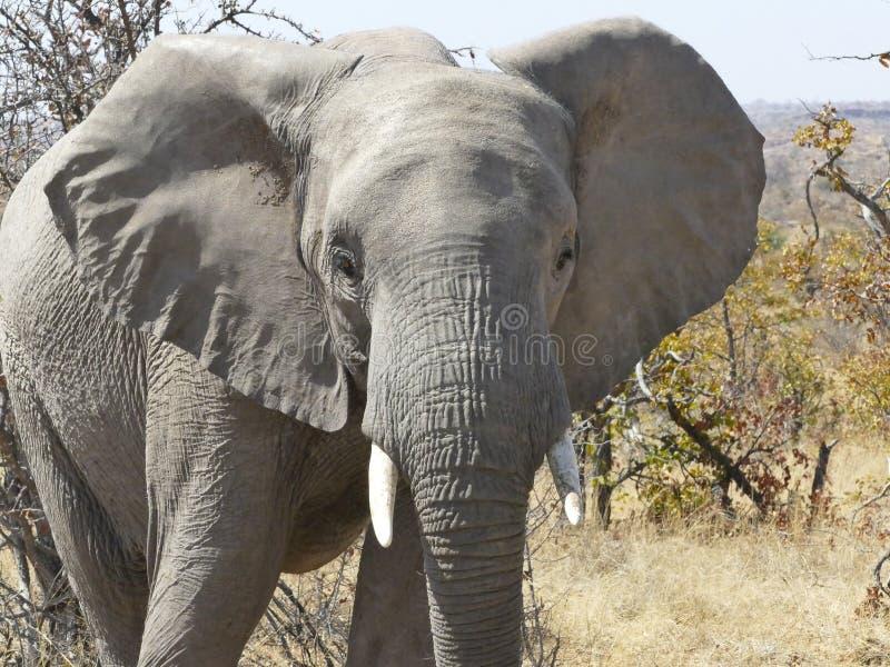 在Mapungubwe的非洲大象 库存照片