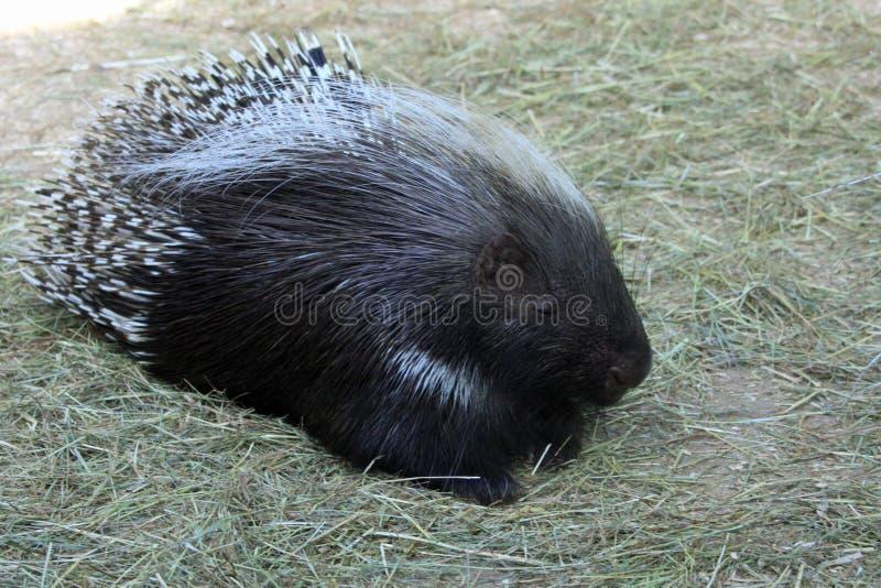 在Marwell动物园的豪猪 库存照片
