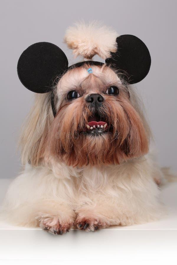 在mickey柳叶蒲公英属的Shih慈济狗 库存图片
