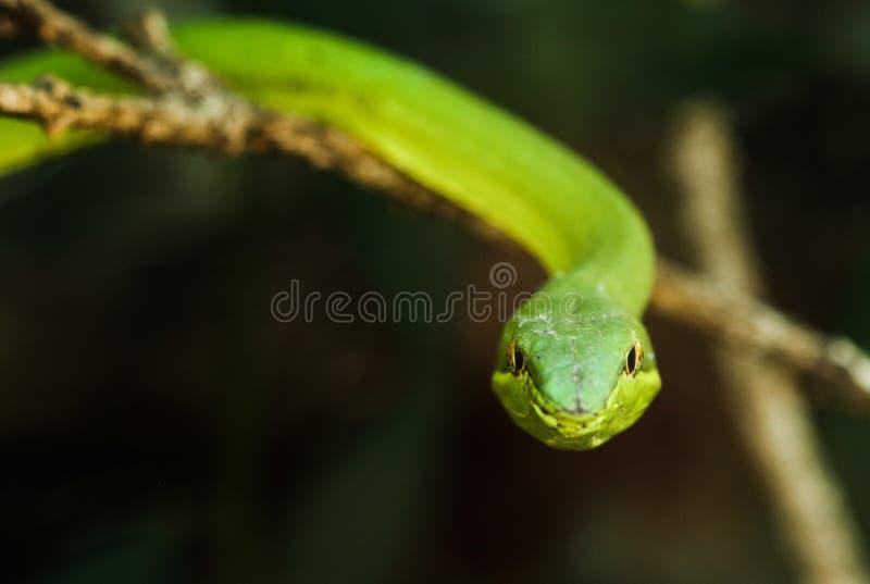 在Monteverde (Oxybelis fulgidus)看见的绿色藤蛇/小面包干蛇,哥斯达黎加 库存照片