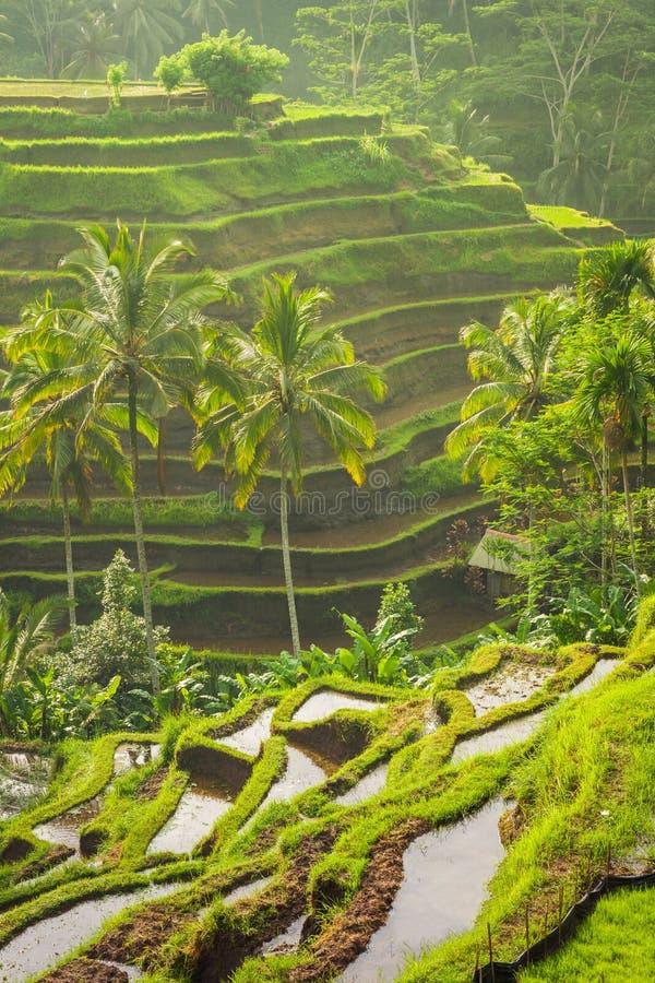 在moring的光,巴厘岛,印度尼西亚的美丽的米大阳台 免版税库存照片