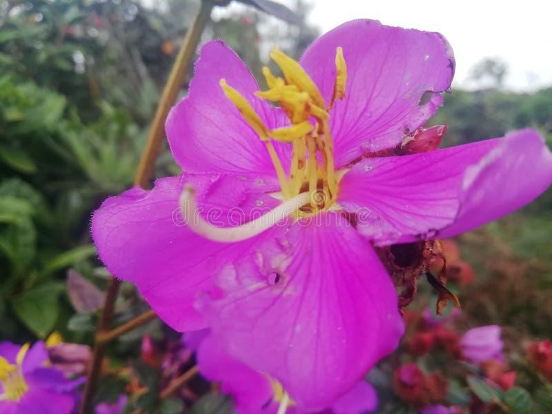 在mountan的美丽的花在斯里兰卡 免版税图库摄影