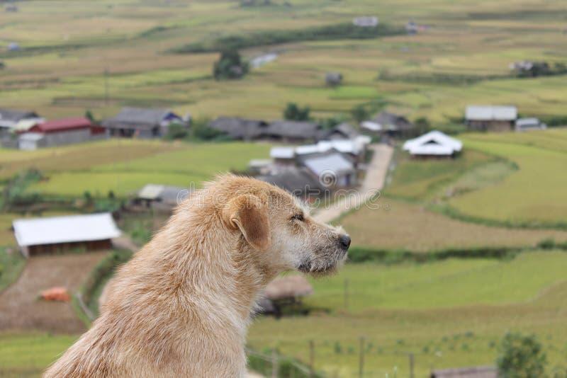 在Mu Cang柴米大阳台领域的一条狗 免版税图库摄影
