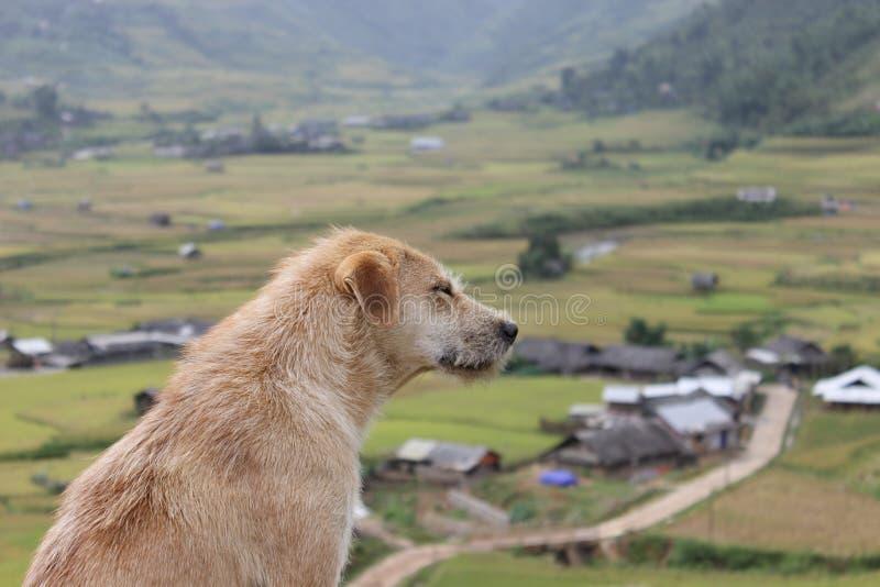 在Mu Cang柴米大阳台领域的一条狗 库存图片