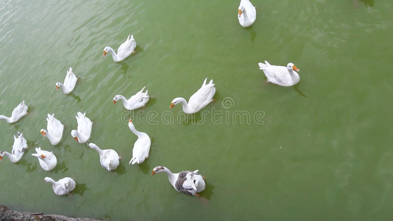 在Nakki湖莫乌恩特阿布的嬉戏的鸭子 免版税图库摄影