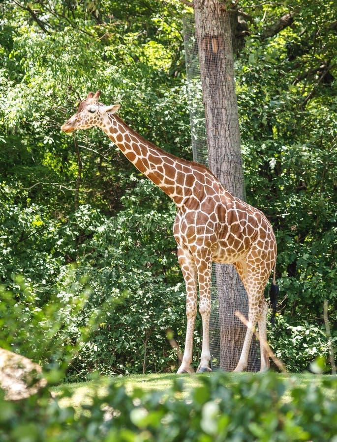 在NC动物园的长颈鹿在Asheboro 库存图片