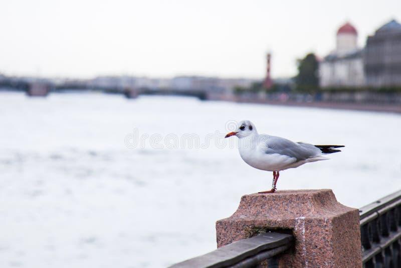 在neva码头的海鸥 免版税图库摄影