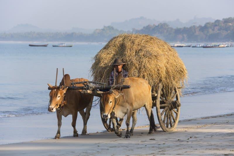 黄牛推车- Ngapali海滩-缅甸 库存照片