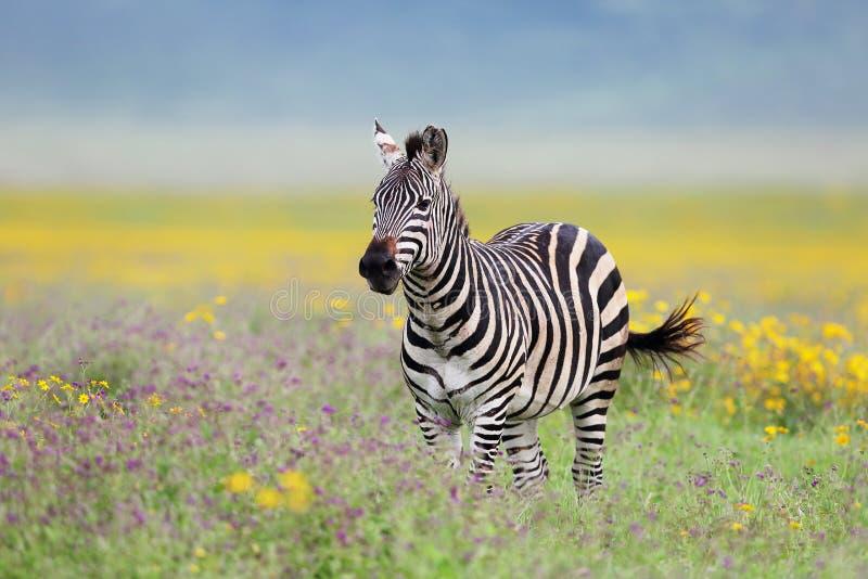 在ngorongoro火山口坦桑尼亚的斑马在呈绿色季节期间 免版税库存图片