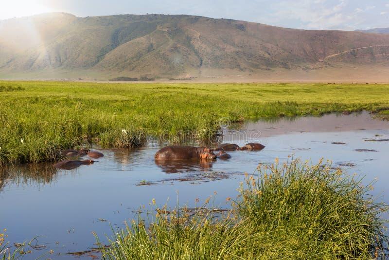 在Ngorongoro火山口的河马水池 免版税库存图片