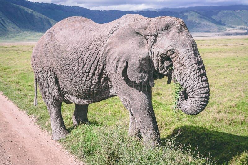 在ngorongoro火山口非洲的大象 免版税库存图片