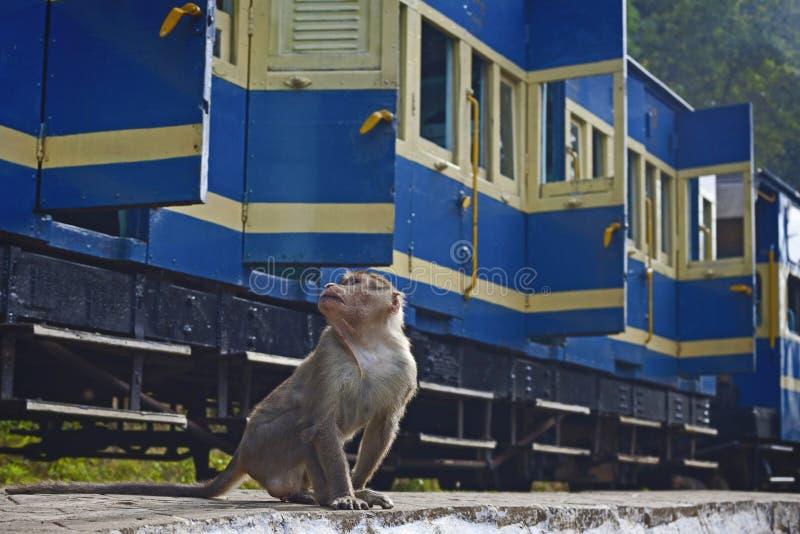 在Nilgiri采取的猴子 库存图片