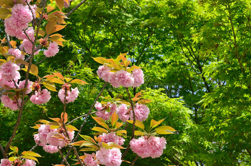 在ninnaji寺庙,京都日本的二重开花的樱桃树.
