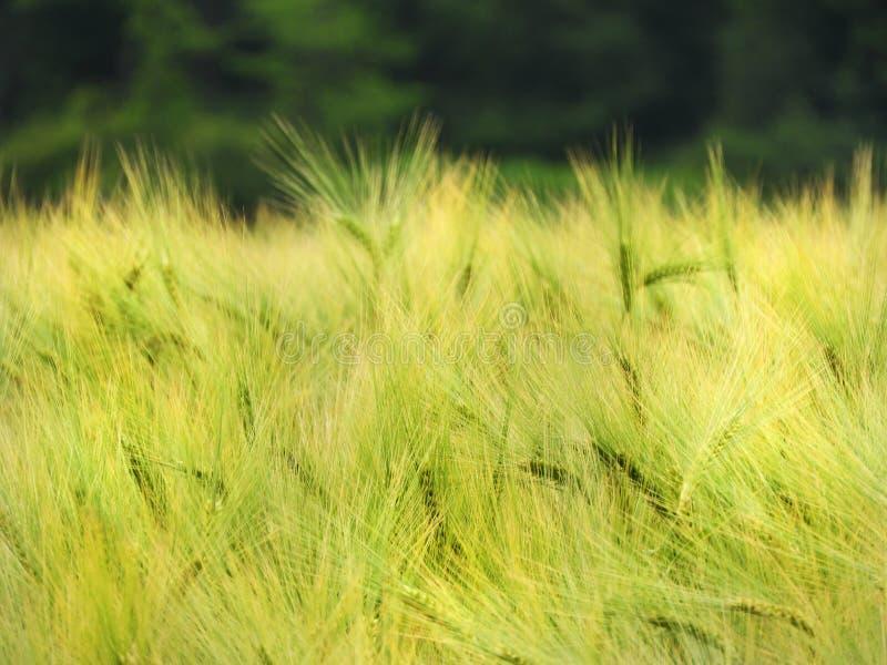 在NYS FingerLakes的大麦领域几乎准备好收获 免版税库存照片