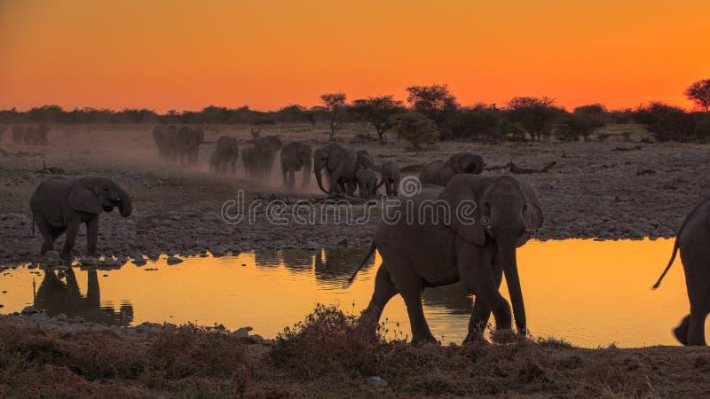 在Okaukuejo Waterhole, Etosha,纳米比亚的大象 免版税库存图片