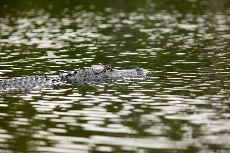 在Okefenokee全国野生生物保护区的鳄鱼 库存照片