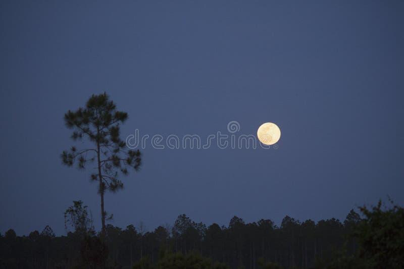 在Okefenokee沼泽的花月亮 库存图片