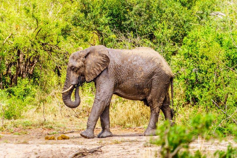 在Olifantdrinkgat的大象,在Skukuza休宿所附近的一个水坑,在克留格尔国家公园 库存图片