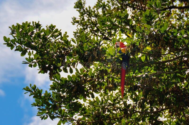 在Osa半岛,哥斯达黎加的红色鹦鹉 库存照片