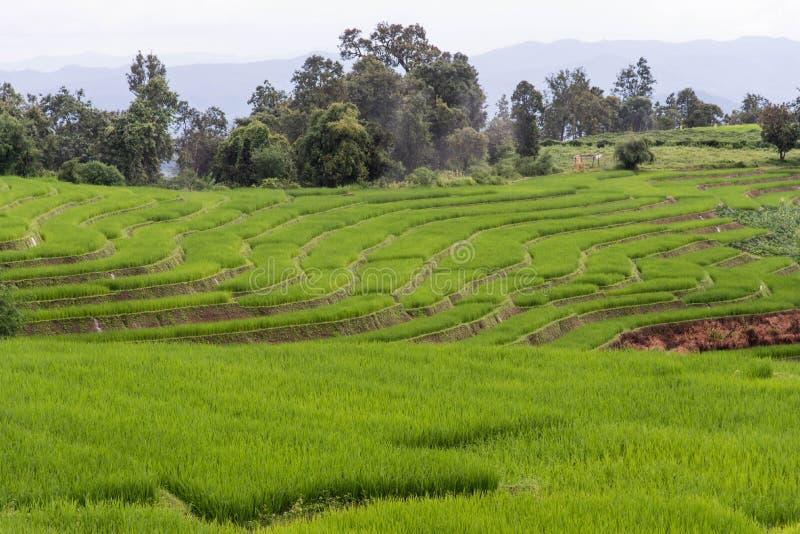 在Pa的绿色露台的米领域发出当当声Pieng,清迈省 库存图片