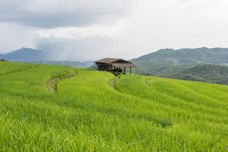 在Pa的绿色露台的米领域发出当当声Pieng, 免版税库存图片