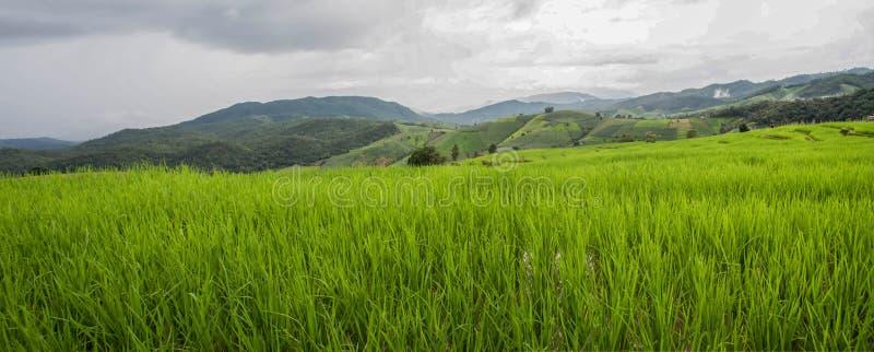 在Pa的绿色露台的米领域发出当当声Pieng 图库摄影