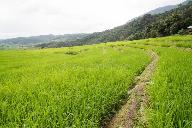 在Pa的绿色露台的米领域发出当当声Pieng 库存图片