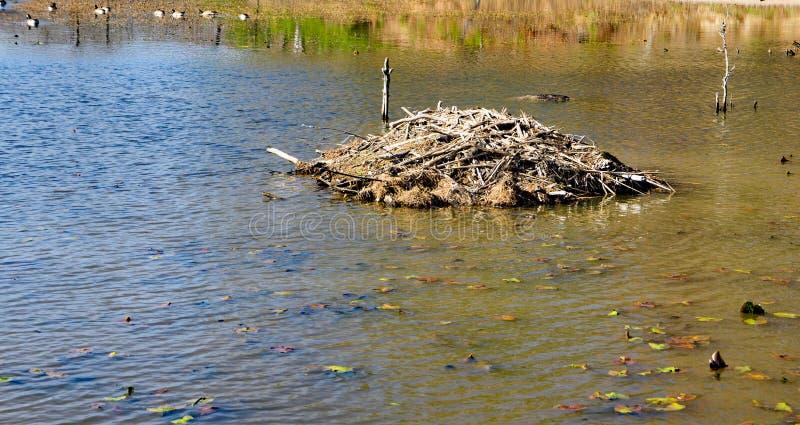 在Pandapas池塘的海狸建造的小屋 免版税库存图片