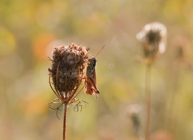 在parsely干燥套期交易的蝗虫 库存图片