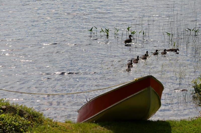 在Paul湖的鸭子家庭 免版税图库摄影