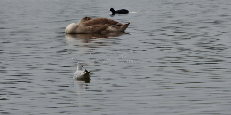 在pennington闪光,在英国拍的照片的天鹅 库存照片