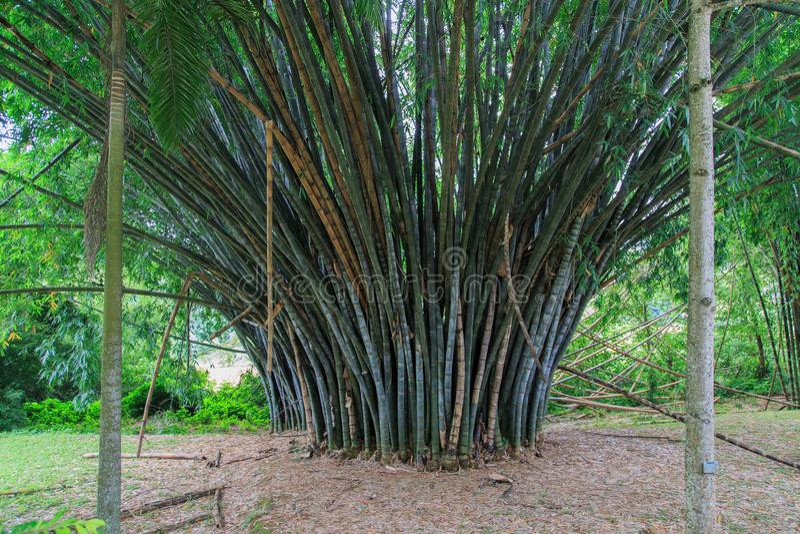 在Peradeniya皇家植物园-康提-斯里兰卡的竹子 图库摄影