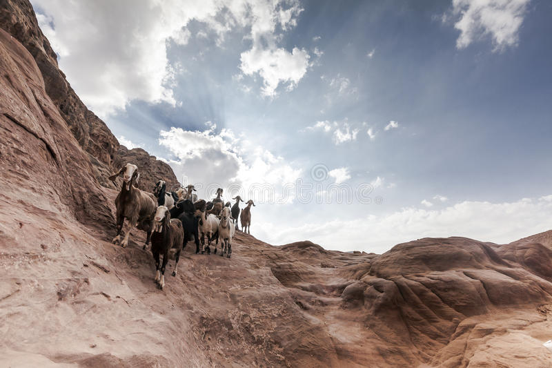 在Petra的山羊牧群 免版税库存照片