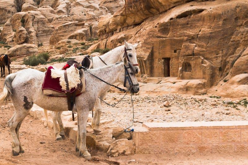 在Petra的流浪的马 库存照片