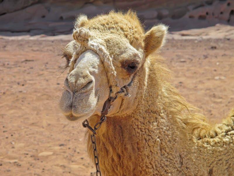 在Petra的流浪的骆驼画象,约旦 库存照片