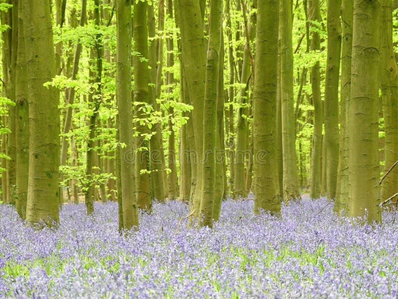 在Philipshill木头,Chorleywood,赫特福德郡,英国,英国的会开蓝色钟形花的草 库存照片