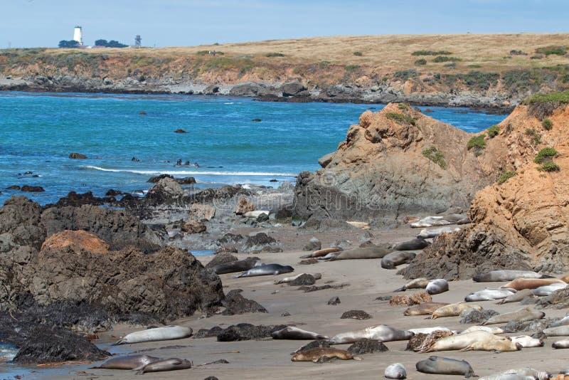 在Piedras Blancas灯塔附近的海象殖民地在加利福尼亚中央海岸的圣西梅昂北部  免版税库存图片