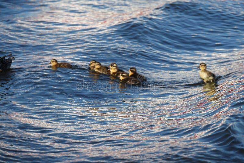 在Pikmar波浪的年轻鸭子小鸡在弗里斯 库存照片