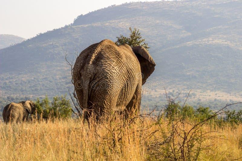 在pilanesberg的非洲大象 库存照片