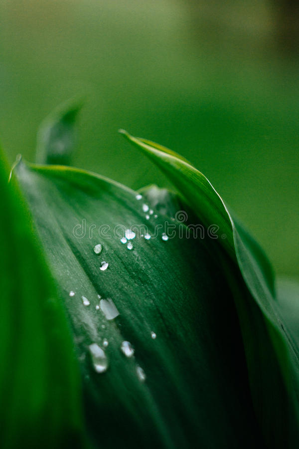 在Plantleaf的雨珠 库存图片